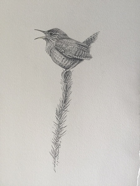Wren by Ian Greensitt