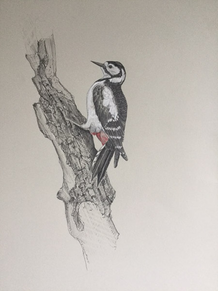 Great Spotted Woodpecker by Ian Greensitt
